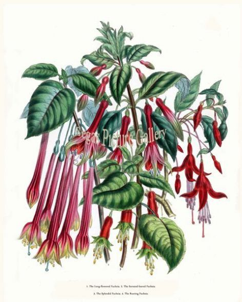 Fine art print of the Long-flowered Fuchsia, Serrated-leaved Fuchsia, Splendid Fuchsia, Rooting Fuchsia by Mrs Webb Loudon